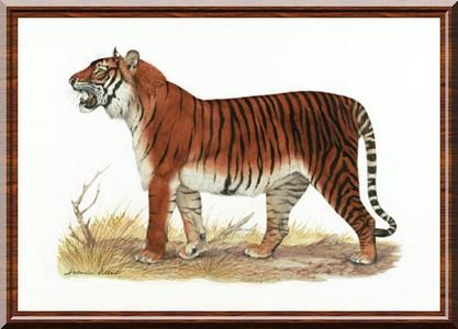 tigredebali.jpg