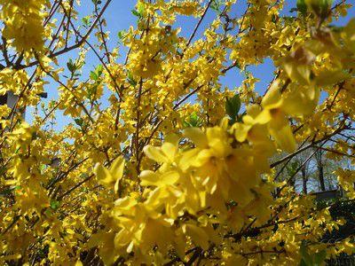 Arbuste forsythia j 39 aime le vaucluse - Quand tailler un forsythia ...