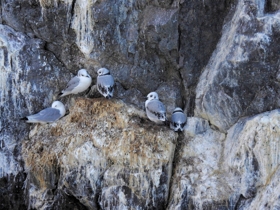 Gründafjordur Mouettes tridactyles 160801js1188.JPG