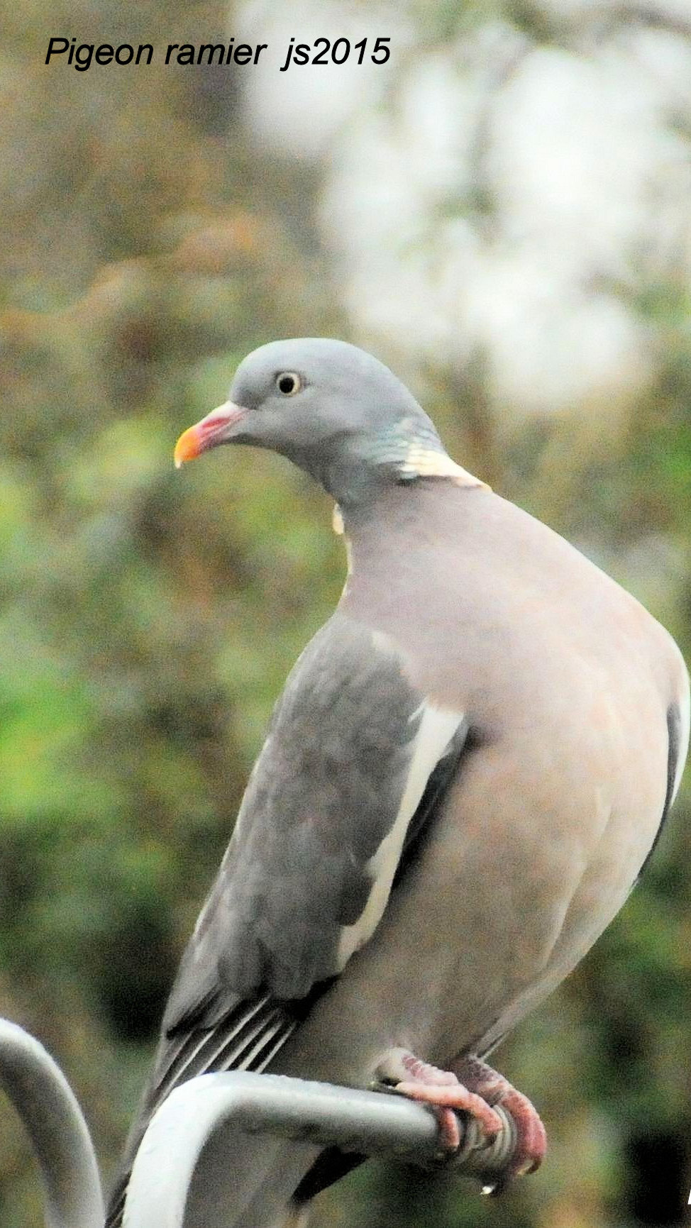 Pigeon ramier js2016.JPG