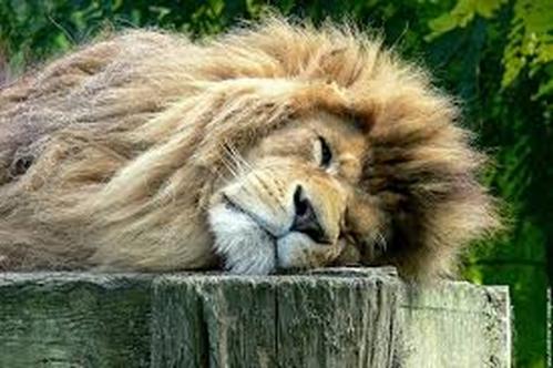 lion dort (Copier).jpg
