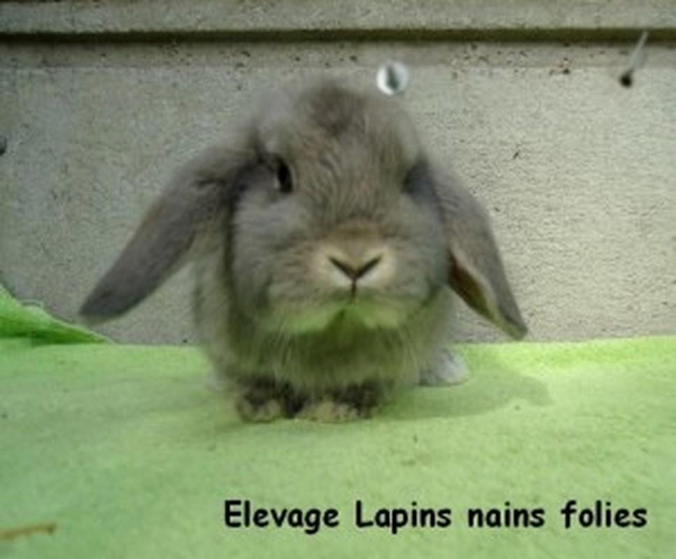 lapin Nain-bélier-300x248 (Copier).jpg