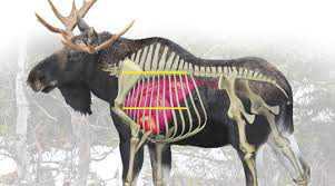 caribou organe.jpg