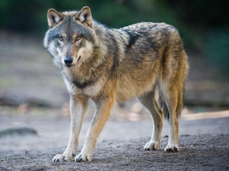 caribou loup.jpg