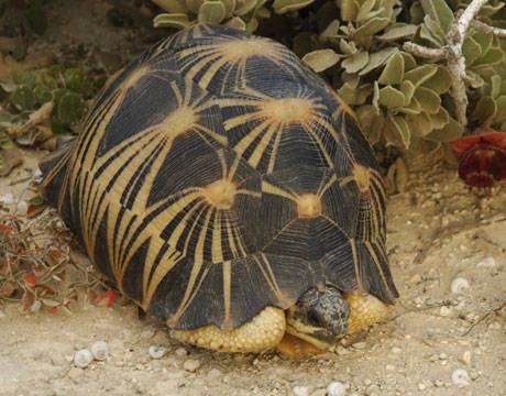 radiated-tortoise-extinction-lg.jpg