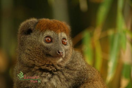 lemur-bambou-1g.png