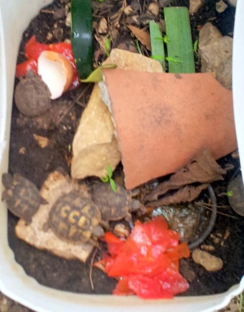 Bébés tortue au repas 20 oct 13.jpg
