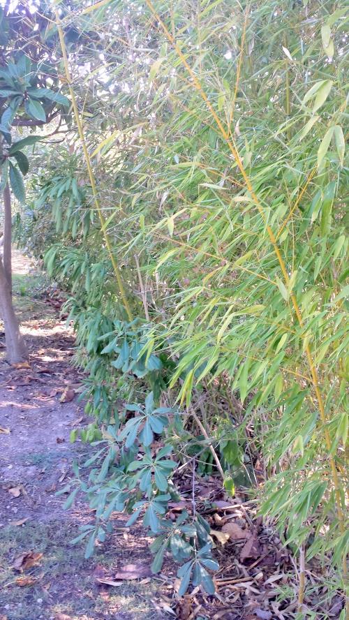 Haie 4 saisons bambous 11 sept 14.jpg