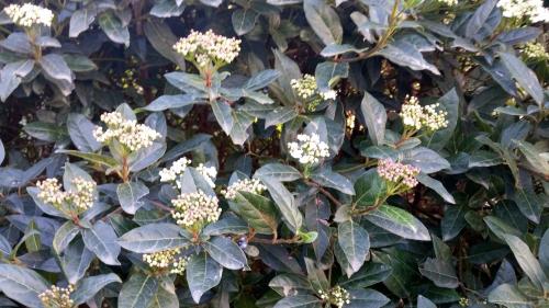 Début floraison laurier tin 7 janv 15.jpg
