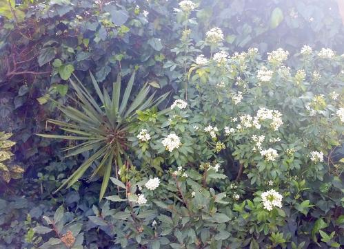 Choisa en floraison 3 avr 15.jpg