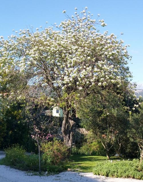 Poirier centenaire en fleurs 5 avr 15.jpg