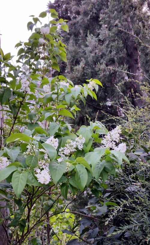 Lilas blanc 15 avr 15.jpg