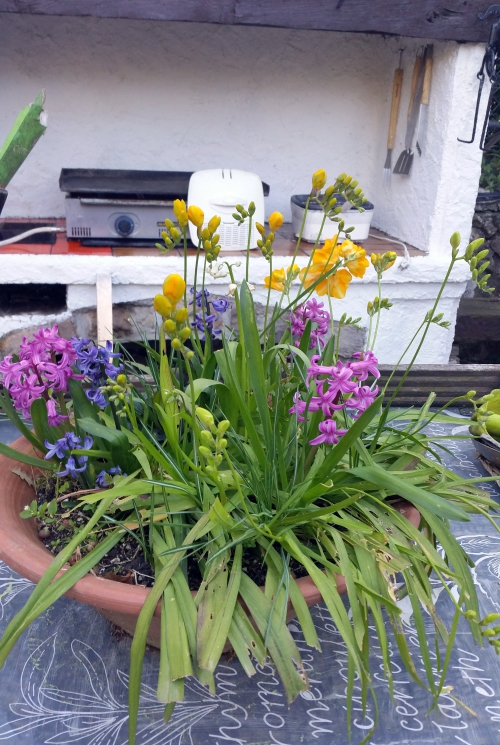 Jacinthes et freesias 26 mars 15.jpg