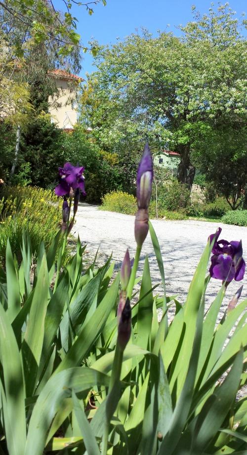 Iris violets bulbilles et poirier 13 avr 15.jpg