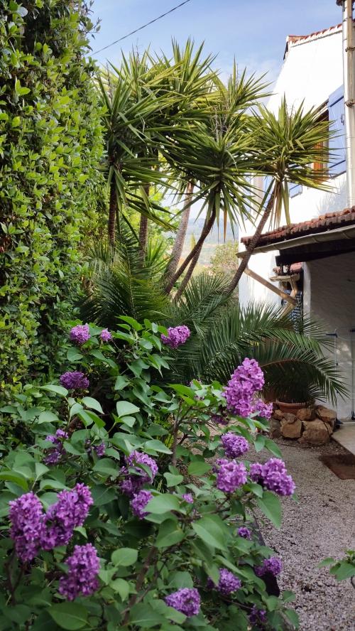 Lilas mauve sur fond de yuccas 25 avr 15.jpg