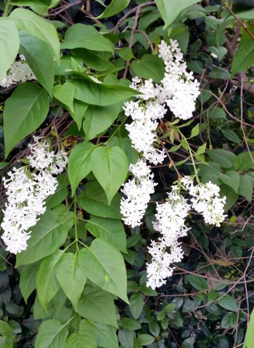 Lilas blancs 25 avr 15.jpg