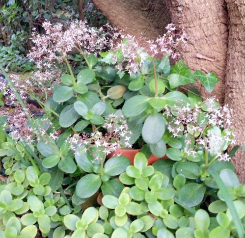 Floraison daphnés 25 avr 15.jpg