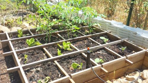 plants melon installés 10 juin 15.jpg