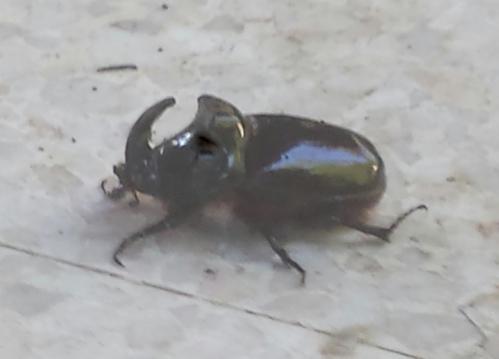 scarabée rhinocéros 9 juin 15_web.jpg