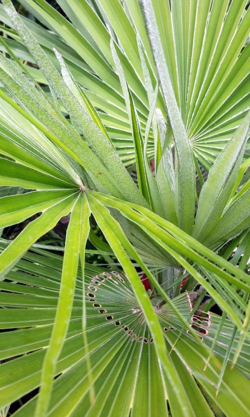Exemple charançon palmier 14 juin 15.jpg