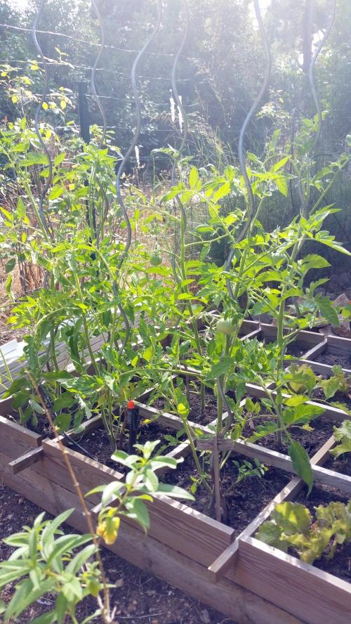 Tomates 25 juin 15.jpg