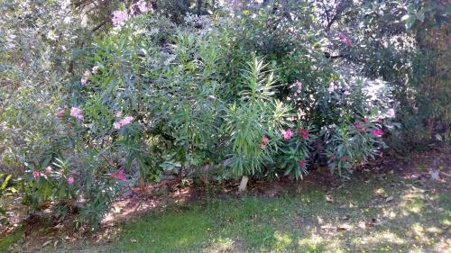 Lauriers rose en fleurs 26 juin 15.jpg