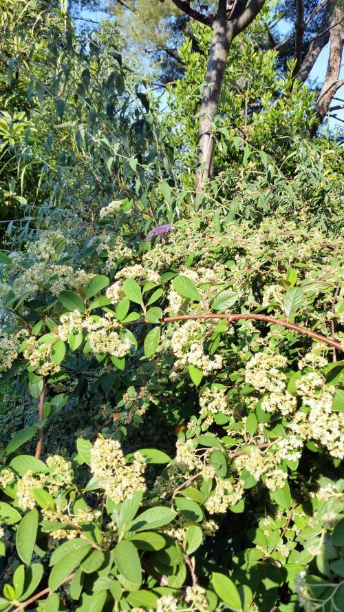 Densité fleurs cotoneaster 6 juin 15.jpg