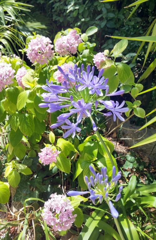Agapanthes et hortensia 4 juil 15.jpg