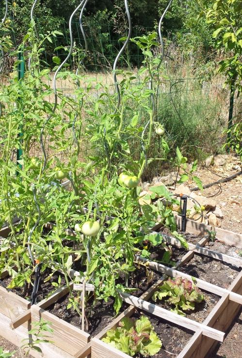 Tomates et salade 14 juil 15.jpg