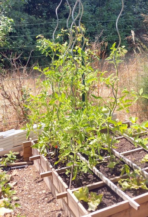 Tomates 4 juil 15.jpg