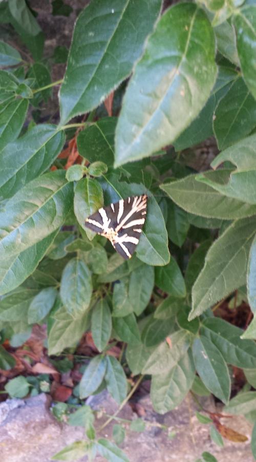 Papillon écaille chinée 18 juil 15.jpg