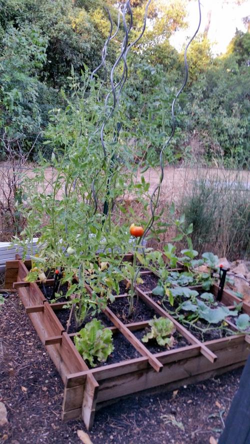 Tomates 27 juil 15.jpg