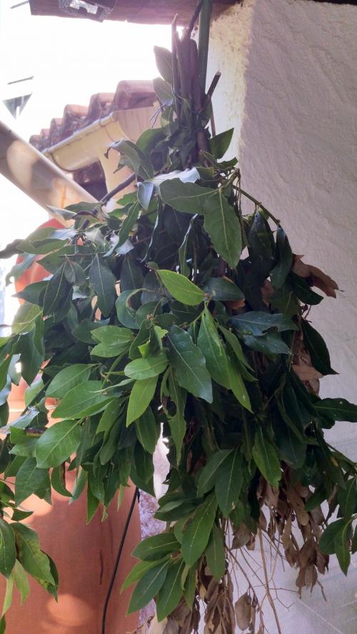Branches de laurier sauce à sécher 7 août 15.jpg