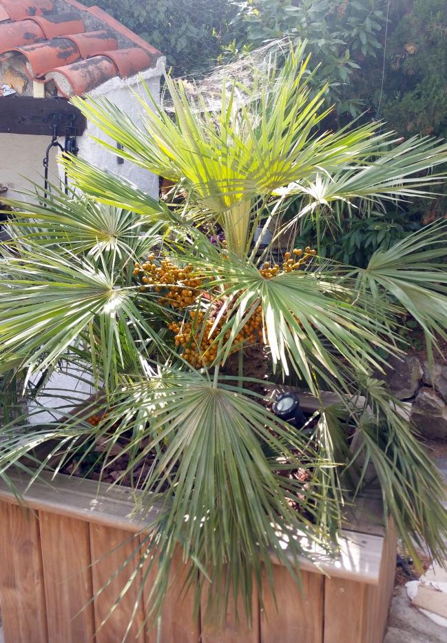 Palmier avec fruits et toile arraignée 12 sept 15.jpg