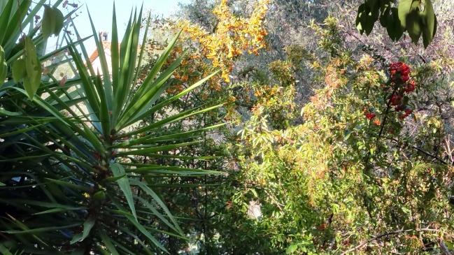 Développement pyracanthas massif exotique 5 sept 15.jpg