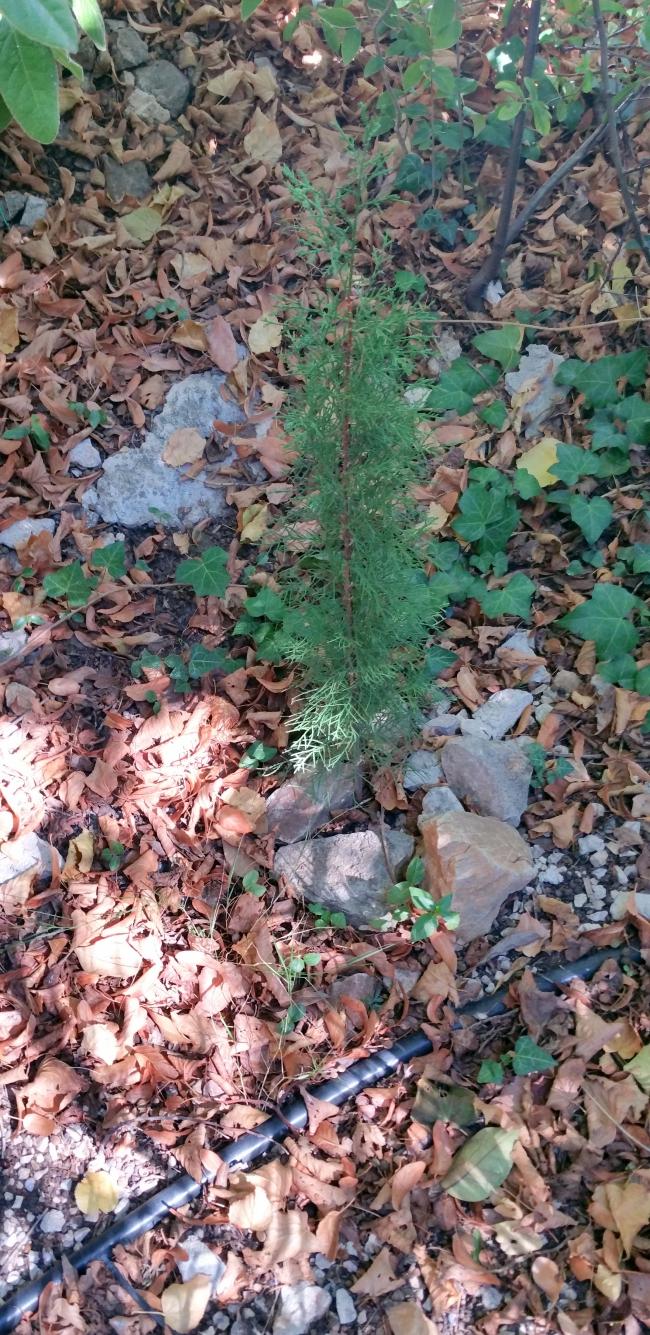 Paillage avec cyprès planté 19 sept 15.jpg