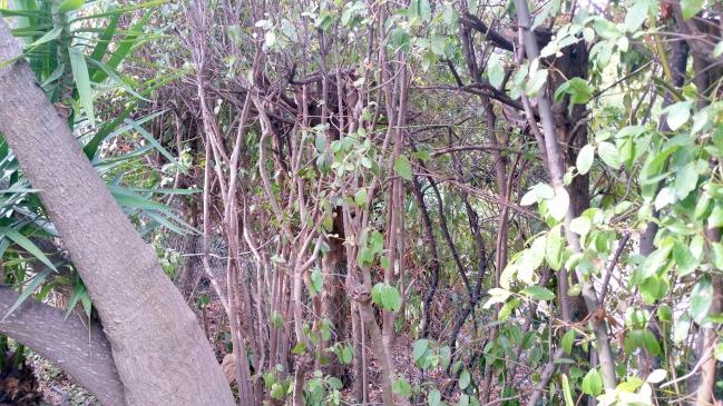Haie arrière yucca dégagée 1er oct 15.jpg