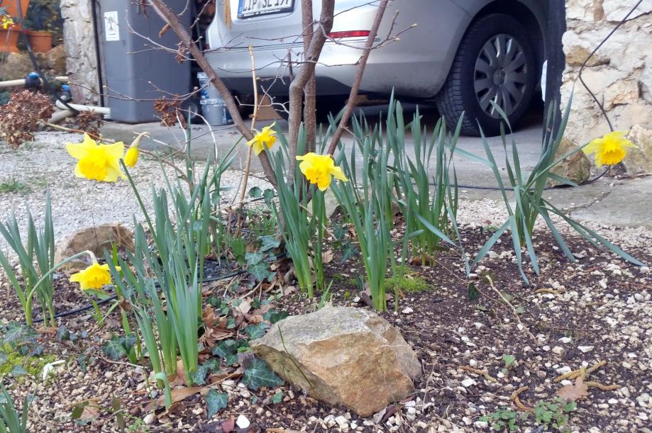 Narcisses parterre 11 fev 16.jpg