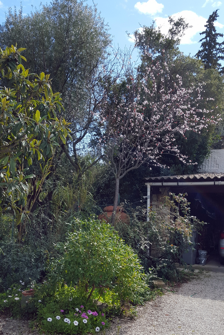 Cericier à fleurs 10 mars 16.jpg