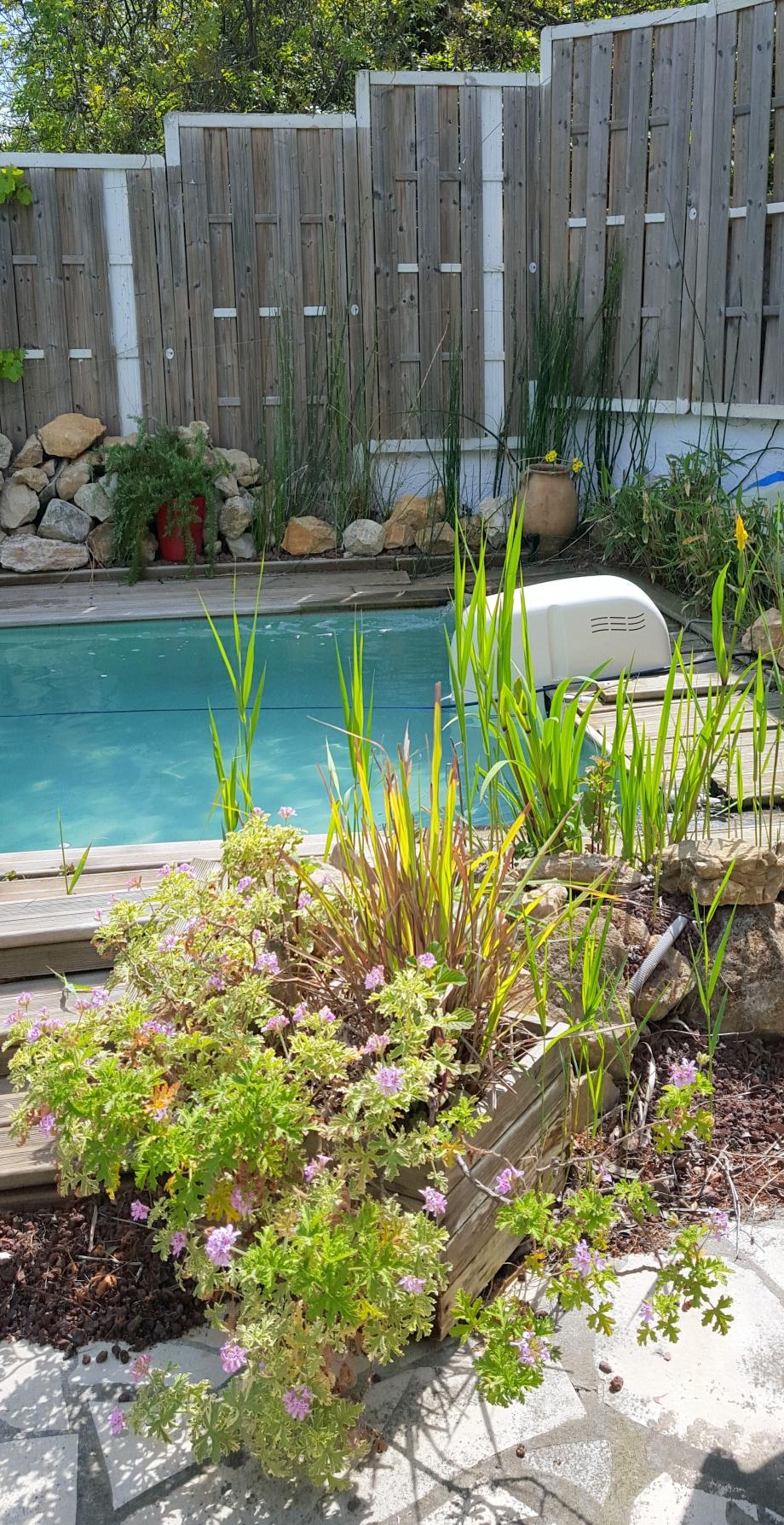 Potée de géranium citron proche piscine 30 avril 16.jpg