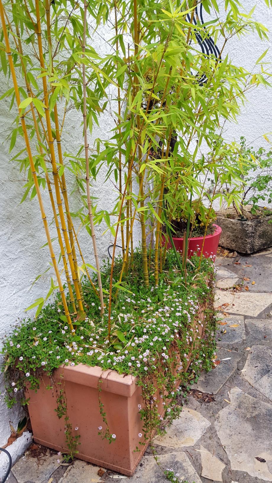 Pelouse fleurie dans jardinière 19 juin 16.jpg