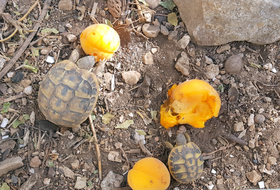 Abricots pour tortues 23 juin 16.jpg