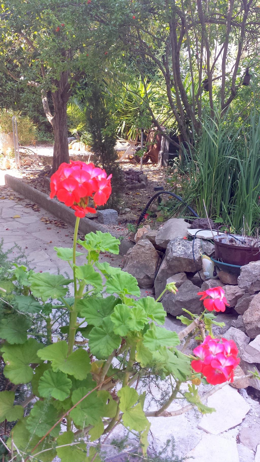 Geraniums comment cr er son jardin m diterran en - Comment passer en floraison ...
