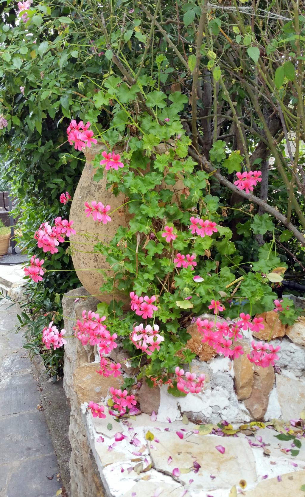 Mai est le mois de floraison des g raniums comment for Comment arroser les geraniums