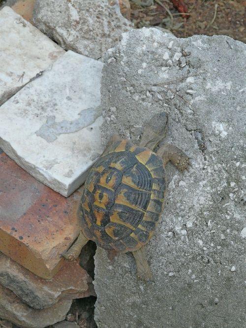 jeune tortue d 39 hermann en escalade dans son terrarium comment cr er son jardin m diterran en. Black Bedroom Furniture Sets. Home Design Ideas