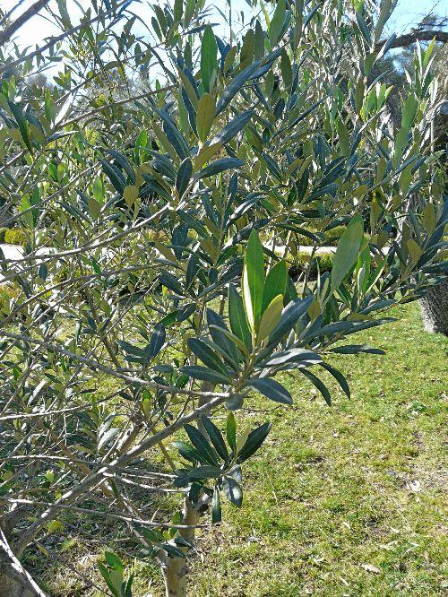 jeune pousse d 39 oliviers en fin d 39 hiver comment cr er son jardin m diterran en. Black Bedroom Furniture Sets. Home Design Ideas
