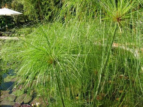 cyperus-papyrus-papyrus-du-nil.jpg