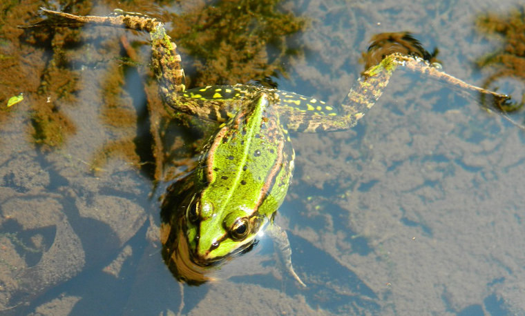 grenouille-mare.jpg