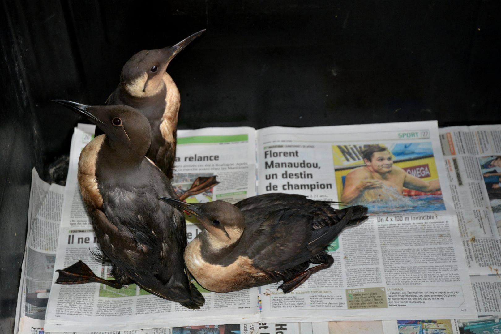 oiseau mazouté3.jpg