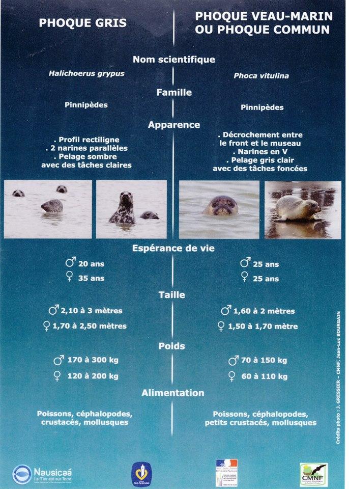 phoque gris et veau marin différence.jpg